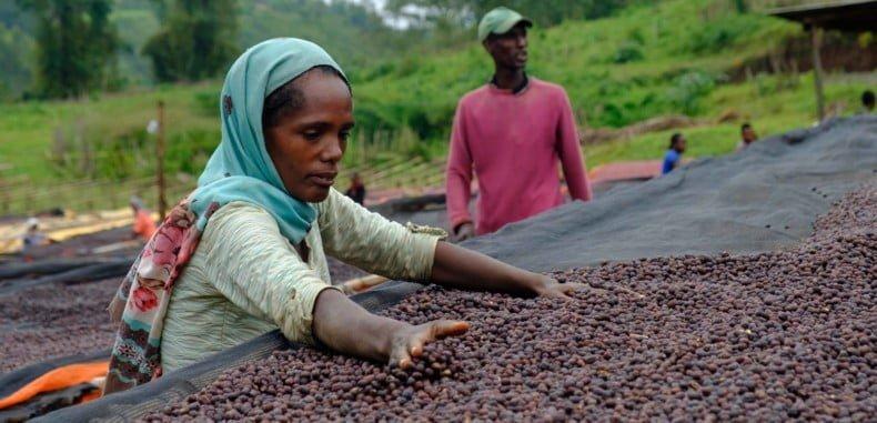 Натуральная обработка кофе в Кении