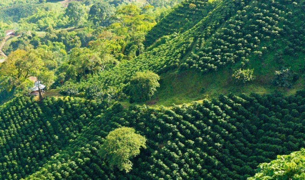 Деревья арабики Гейша на склоне